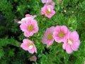 Лапчатка Potentilla Fruticosa Katherine Dykes 25-30 3sh