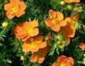 Лапчатка Potentilla Fruticosa Primrose Beauty  25-30 2sh