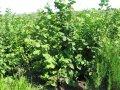Ліщина звичайна Corylus Avellana 20-40