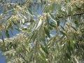 Лох серебристый Elaeagnus Commutata 30-50