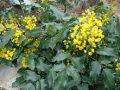 Magoniya Mahonia Aquifolium 15-20
