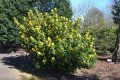 Магония Mahonia Aquifolium 30-40