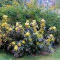 Магония Mahonia Aquifolium 30-40 2sh