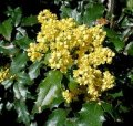 Магония Mahonia Aquifolium 30-40 3sh