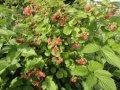 Малина Rubus Fruticosus 20-40