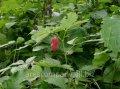 Малина Rubus Fruticosus 30-50