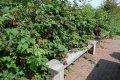 Малина Rubus Fruticosus 40-60