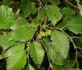 Ольха Alnus Glutinosa 120-140