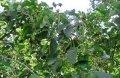 Ольха Alnus Glutinosa 45-60