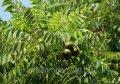 Drzewko szkółkowe orzecha