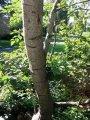 Осина - Осика Populus Tremula 50-80
