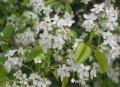 Слива Prunus Mahaleb 20-40