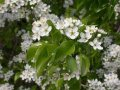 Слива Prunus Mahaleb 30-50 3-5mm