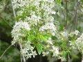 Слива Prunus Mahaleb 50-80