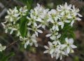 Слива Prunus Mahaleb 6-10mm
