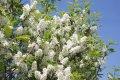 Слива Prunus Padus 120-150