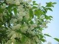 Слива Prunus Padus 60-90