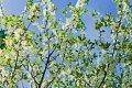 Слива Prunus Padus 90-120
