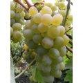 Саженец винограда Восторг