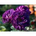 Саженец розы Роза Голубая рапсодия