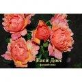 Саженец розы Еаси Доес