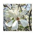 Саженец Magnolia kobus, Магнолия кобус.