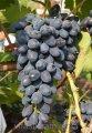 Саженцы винограда Надія Азос