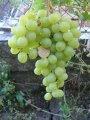 Саженцы винограда ИНГА