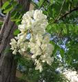 Acacia color, dry