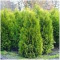 I will sell a thuja Smaragd - delivery across Ukraine.