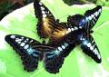 Салют из живых бабочек, живые тропические бабочки как оригинальный подарок на свадьбу