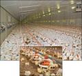 Автокормушки для домашней птицы. Кормушки для успешного откорма бройлеров FluxX.