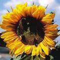 Сорт соняшника Люкс - кондитерка (насіння від виробника)