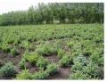 Саженцы лесных деревьев.Первичная обработка, реализация деловой древесины. Выращивание декоративного посадочного материала.
