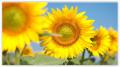 Подсолнечник Солнечный настрий
