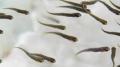 Личинка (малек) щуки