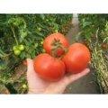 Семена томата Картье F1 250 семян (индетерминантный)