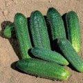 Семена огурца Доломит F1 1000 шт. самоопыляемый