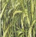 Ярая пшеница сорт Нащадок