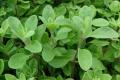 Культуры эфиромасличные травянистые