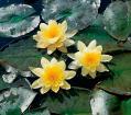 Нимфея желтая, кувшинка М. Chromatella