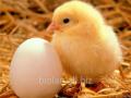 Корм для цыплят бройлеров возрастом от 11-28 дней, рост (стандарт)