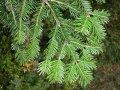 Пихта  Abies concolor ´Černošice WB´    5-8cm,Ko 2,0 l