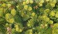 Пихта Abies concolor ´Compacta Pyramidalis´    30-40cm,bal