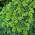 Пихта декоративная  Abies concolor 'Compacta'   80-100 C25