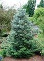 Пихта садовая Abies concolor´Piggelmee´   km30cm,8-10cm,Ko 2,0 l