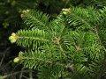 Пихта садовая Abies concolor ´Scooter´   Novinka 15-20cm,Ko 2,0 l