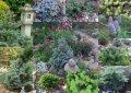 Пихта садовая  Abies koreana   120-140 B