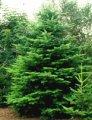 Drzewa ozdobne
