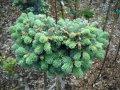Пихта шершавоплодная  Abies lasiocarpa 'Argentea'   140-160 B+S